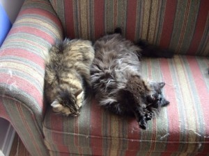 Two long hair cats, snuggling and sleeping on a love seat